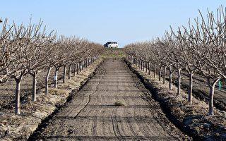 加州极度干旱或致农作物减产 农民损失重