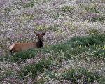 雷耶斯角公園局運水 助麋鹿抵擋旱情