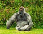 維州封城小鎮現 「大猩猩」 提振社區傳遞微笑