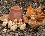 母雞為保護小雞與蛇拼命 證明母愛偉大