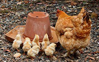 母雞與一群小雞