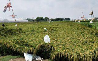 嘉南區啟動災害稻穀收購機制 保障稻農收益