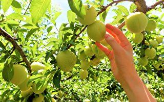水果成熟不等人! 梨山果农找通路拼宅配