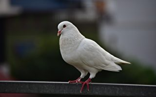 法國老翁救了白鴿 兩者變成形影不離的好友