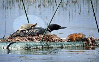 奇观 潜鸟协助乌龟爬到自己背上齐晒太阳