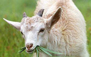 為了保護歷史公園 夏威夷推樂透送山羊