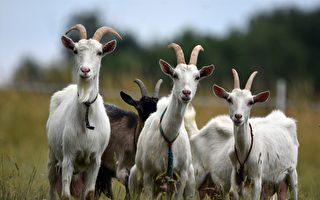 紐約公園雜草叢生 找山羊除草既環保又省錢