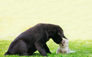 1歲拉布拉多狗養大七隻小貓 有耐心又盡職