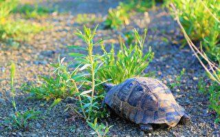 英国宠物龟离家出走 一年只走了1公里