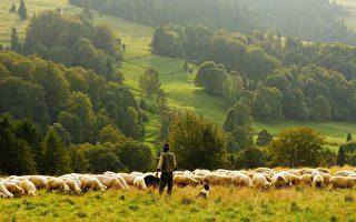 空拍上千只绵羊移动的缩时短片 看了很疗愈