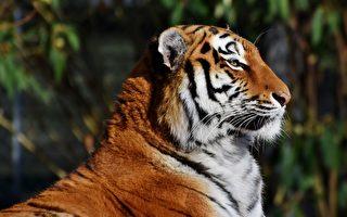 高龄25岁 美国老虎创下最长寿世界纪录