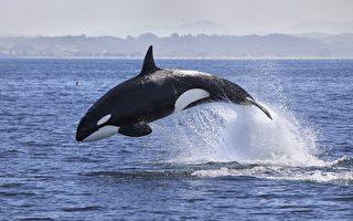 虎鲸搁浅美国岩岸 幸遇善心人士搭救