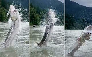 罕见 400磅重鲟鱼从河面跃过垂钓者头顶
