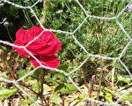 新詩:鐵絲網後面的玫瑰