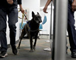 组图:美国迈阿密机场用嗅探犬检测病毒