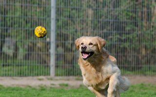 小狗闯入板球比赛抢球 获封本月最佳球员