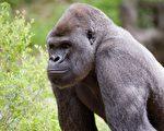 亞特蘭大動物園黑猩猩感染中共病毒