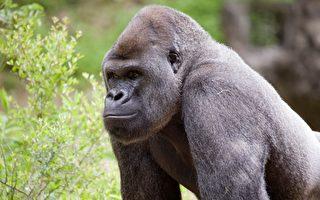 亚特兰大动物园黑猩猩感染中共病毒