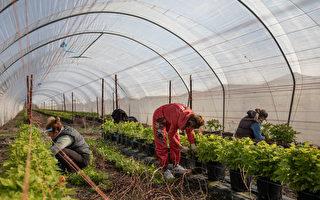 不遠萬里 英國從37個國家輸入農場工人