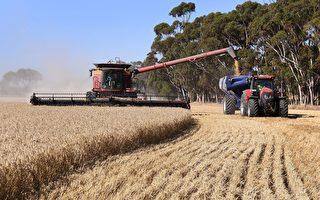 谷物大丰收 西澳农民信心涨至十年最高水平