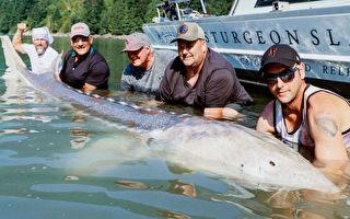 温哥华钓鱼向导获11英尺巨鲟鱼 申请吉尼斯