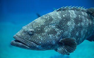 巨型石斑魚一口咬下鯊魚 美國船長看傻眼