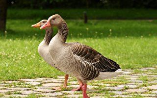 台北阿伯在公园吹口琴 两只鹅神奇回应