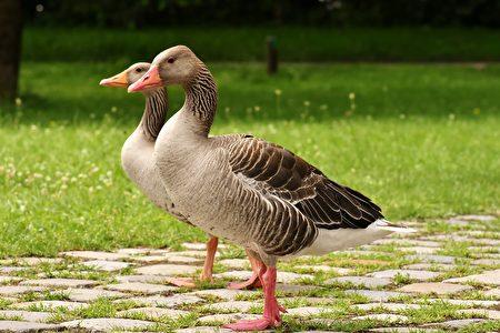 台北阿伯在公園吹口琴 兩隻鵝神奇回應