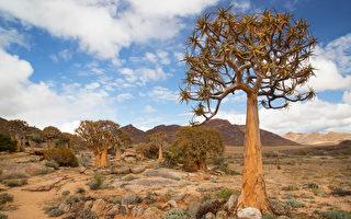 組圖:絕無僅有 南非獨特的沙漠生物群落