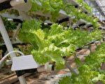全国首个巨型温室在建 欲全年种植沙拉作物