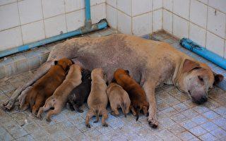 巴西母狗自行到獸醫診所產子 公狗在外面等