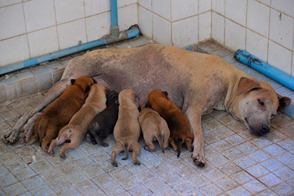 巴西母狗自行到獸醫診所產仔 公狗在外面等
