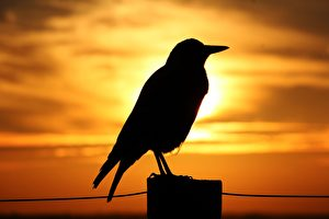 天人感應:羽蟲之孽應驗大凶之兆