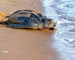 太平洋棱皮海龜 列入加州瀕危清單