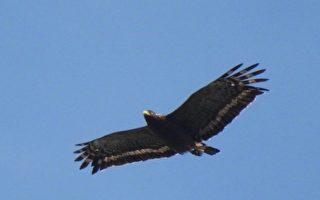 猛禽过境 高市半屏山赏鹰好去处