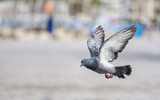 鴿子腳纏繩倒吊在電線上 警方以無人機援救