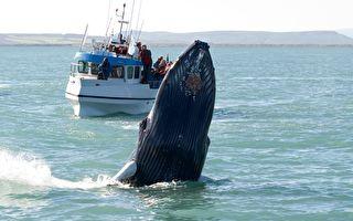 龐大座頭鯨躍出海面 在漁船前方翻身表演