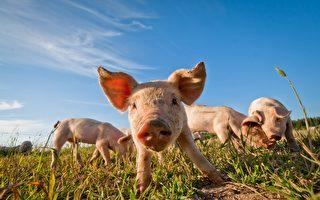 為避免鳥擊影響飛安 荷蘭機場放豬覓食