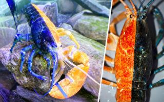 捕获率五千万分之一 稀有双色龙虾在美国展出