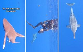 """鲨鱼在潜水员附近徘徊 海豚展开""""保护""""行动"""