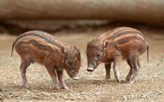 聖地亞哥動物園降生小疣豬