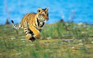 長白山虎林園一老虎逃脫傷人 仍在逃