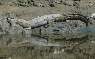 香港發現罕見野生鱷魚