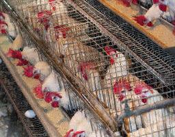 禽流感比萨斯还可怕?