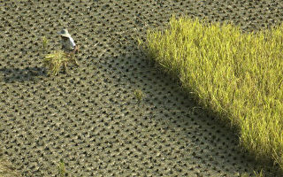 武汉肺炎和沙漠蝗虫威胁大陆食品供应