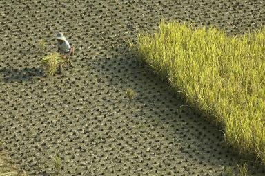 中共肺炎和沙漠蝗蟲威脅大陸食品供應