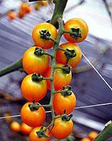 台花蓮農改場選育推廣黃色小果蕃茄新品種