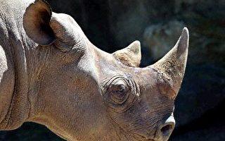 非洲瀕危黑白犀牛數目回升