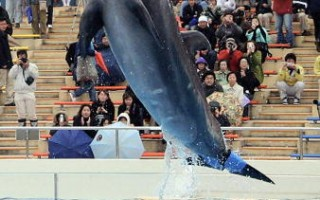 冲绳美丽海水族馆的海豚表演。图:AFP/AFP/Getty Images提供