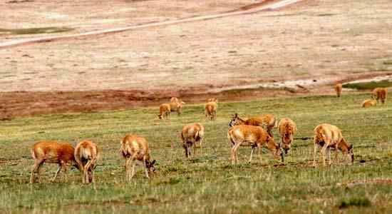 可可西裏藏羚羊成了盜獵者覬覦目標,目前在市面上已經買不到Shahtoosh披肩。(圖片來源:可可西裏管理局、志願者及環保人士提供)